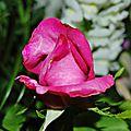La rose mireille delissus
