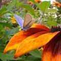 L'argus bleu ; polyommatus icarus