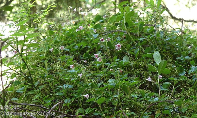 Linnaea boralis
