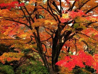 feuilles-d-erable