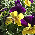 Séance photos d'abeilles sur des pensées