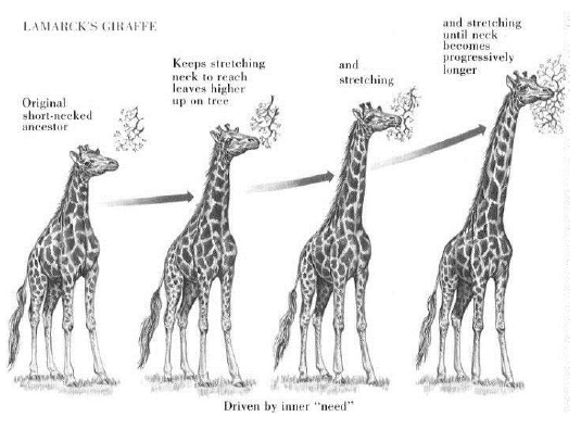 schema girafe evolution