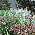 iris de sibérie rose