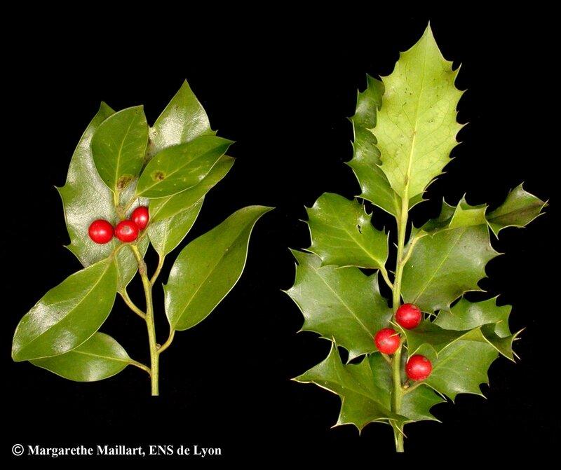 Houx-Ilex_aquifolium-Rameaux