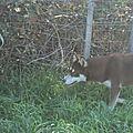 HYOUNA femelle née le 11/05/2012