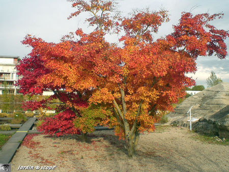 Acer_palmatum_Thunb