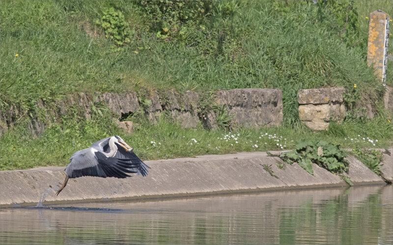 Ville oiseau héron pêche 3 promeneuse 010420
