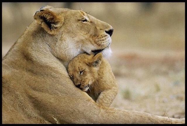 lions tendresse 2
