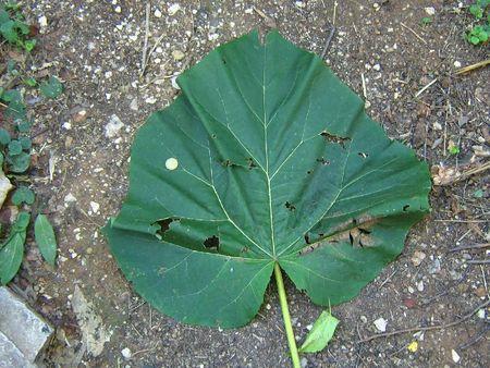 polonia Paulownia tomentosa de son vrai nom photo Anne Giletti (26)