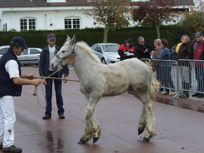 Eliozus - Concours de poulains - Marquise (62) - 15 Octobre 2014