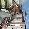 chienne de proprio Rescue 1 et ses chiots