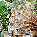 Gymnopus fusipes (3)