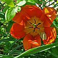 Le printemps rythme la symphonie des tulipes