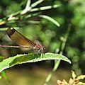 Calopteryx ouest mediterranéen