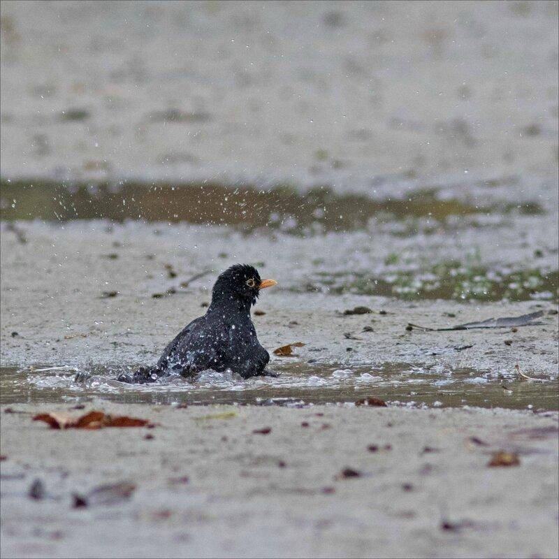 oiseau merle bain flaque 7 241117