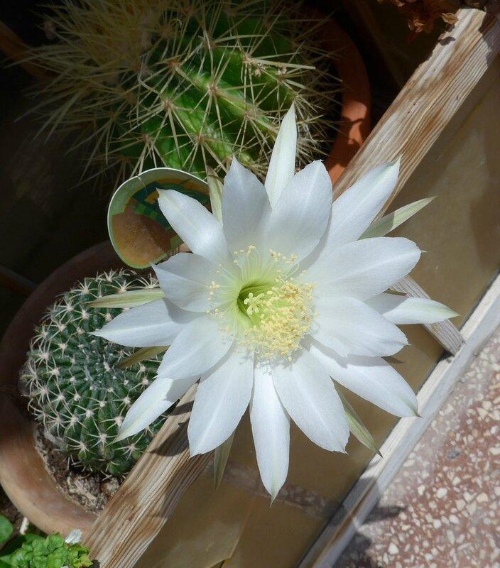 Magnifique fleur de cactus ma fenêtre mai 2017