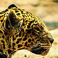 leopard loro parque3