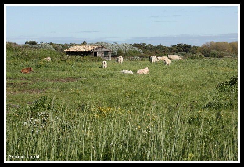 00522 Oléron Avril 2018 - Les Marais du Douhet
