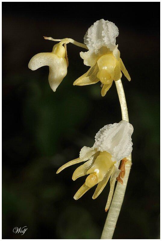 epipogon-16-02
