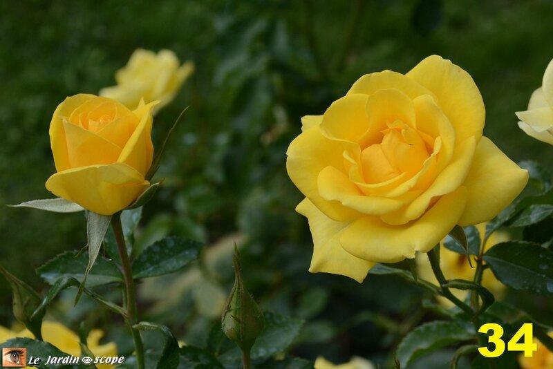 34-Concours international de roses d'Orléans 2016