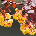 Berberis pourpre