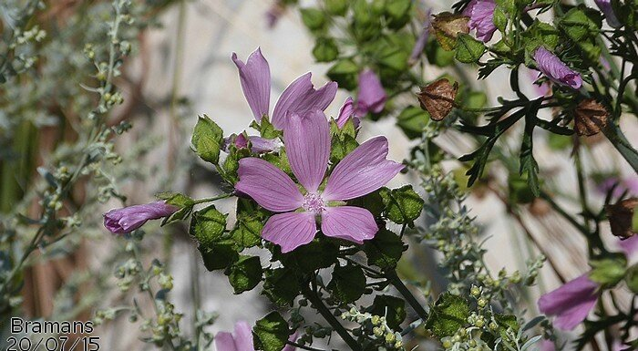 Malva moschata Bramans