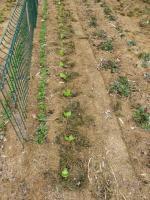 30-petits pois-salade (4)