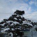 Cedre - Mont Liban