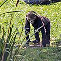 gorille beauval5