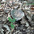 Russula cyanoxantha (5)