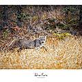 [grif' écoute] rencontre unique entre un lynx et son photographe.