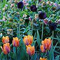 21/04/2011. tulipa 'black hero' et tulipa 'prinses irène'