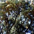L'arbre à paons