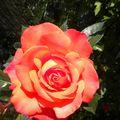 la rose orange