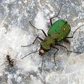 Cicindela campestris - carabidae