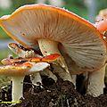 Amanite muscaria