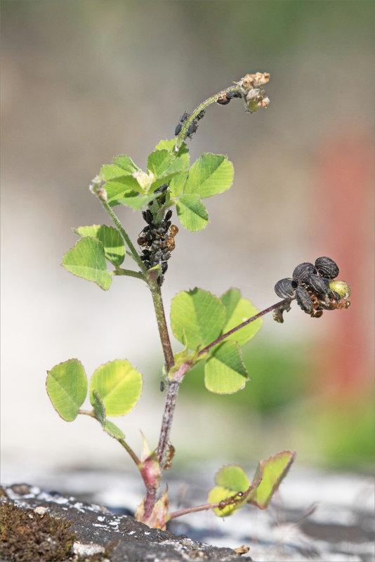 Mur plante pucerons fourmis 090721