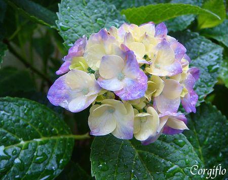 jardin_080704_ajisai_02