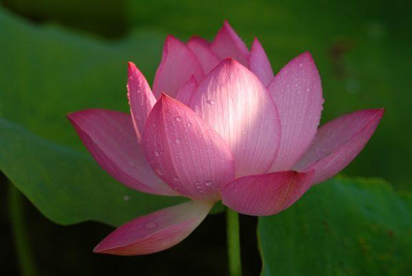 lotus88