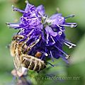 Veronica 'dark martje' visitée par une abeille