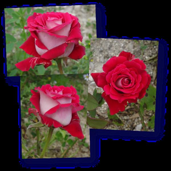 rosier osiria