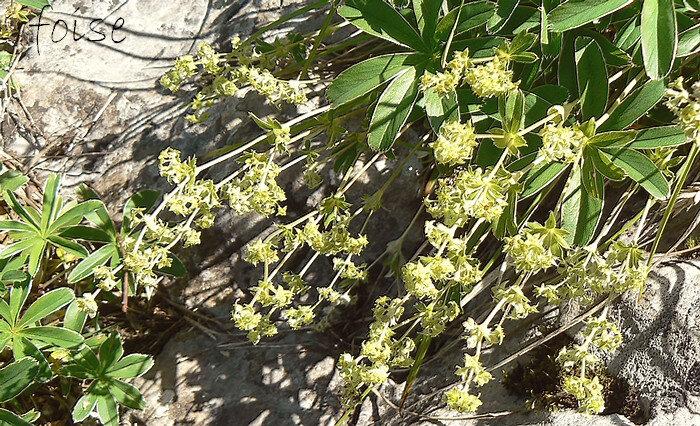 tiges dressées ou prostrées 1 à 2 fois plus longues que les feuilles