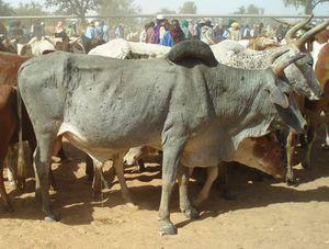 zébu gris FATOMA Mali