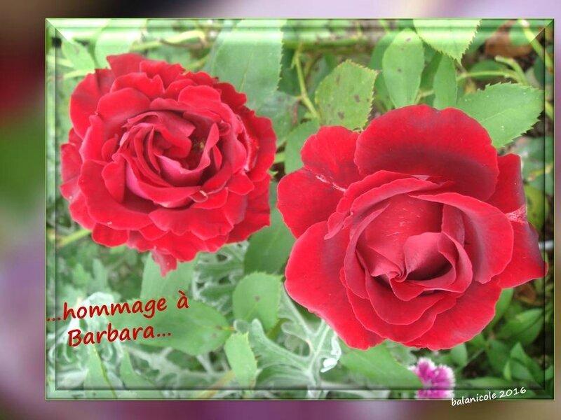 balanicole_2016_11_les nouveaux rosiers de balanicole_B comme Hommage à Barbara_09