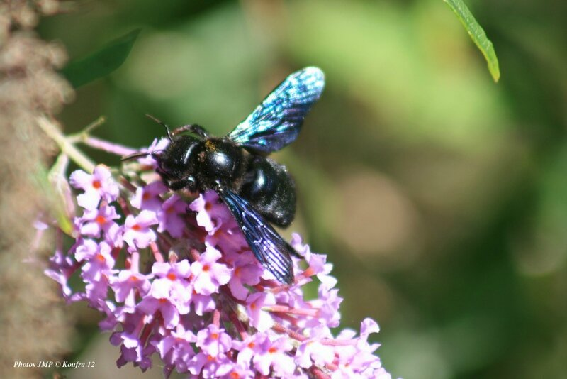 abeille bleue 028