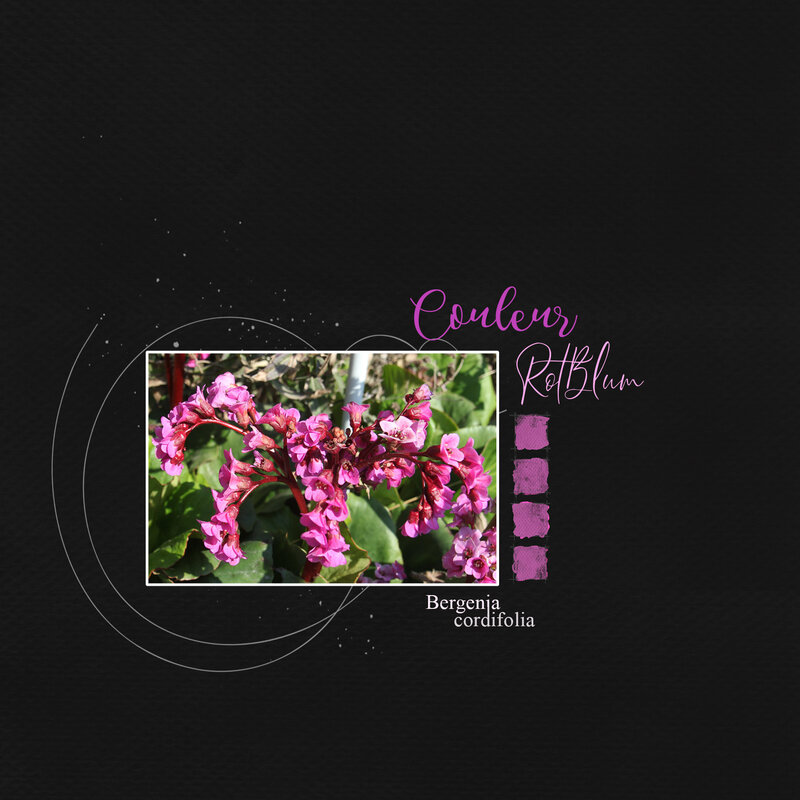 Faby-couleurs_Bergenia cordifolia-G