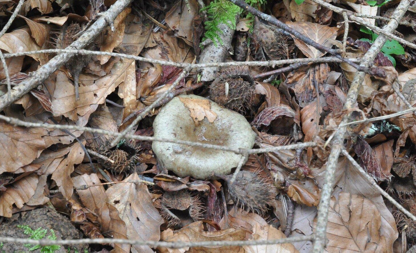 Lactarius blennius (1)