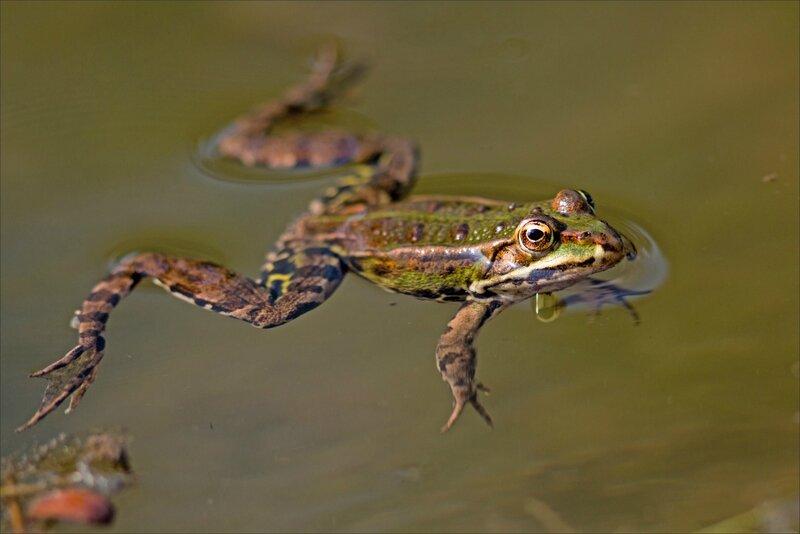 Galuchet grenouille eau 1 270516