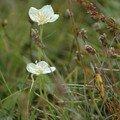 Fleur islandaise (1).