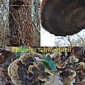 Phaeolus schweinizii